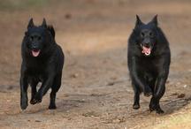 Black paws - Schipperke love