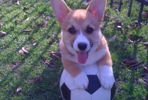CUTEST CORGIS / by Colleen Seigfreid