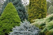 Conifers & Rhododendrons / by Aijan Unelmia <3