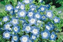 Baby Blue Eyes / by Swallowtail Garden Seeds