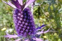 Sea Holly / Eryngium planum, Eryngium leavenworthii  / by Swallowtail Garden Seeds