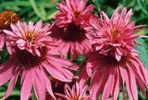 Echinacea / Echinaceas are tough, heat tolerant, drought and deer resistant, easy to grow perennials. They are frequently visited by Monarchs and attract a variety of butterflies all summer. Winter hardy to zone 3 unless otherwise noted. / by Swallowtail Garden Seeds