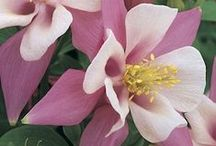Columbine / Aquilegia species and hybrids / by Swallowtail Garden Seeds