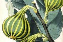 Vintage Vegetable, Fruit, Nut, and Berry Illustrations