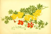 Tropaeolum Illustrations / by Swallowtail Garden Seeds