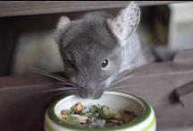 Szynszyle - jedzenie | Chinchilla's food / Chinchilla need a healthy food. Fresh hay, pellets, dried fruits and vegetables.  Szynszyla potrzebuje zdrowego jedzenia. Świeżego siana, pelletu, suszonych owoców i warzyw.