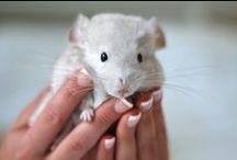 Szynszyle - rozmnażanie | Baby Chinchilla / Nie rozmnażaj - podziwiaj! Jeśli chcesz zająć się rozmnażaniem szynszyli, dołóż wszelkich starań, żeby robić to w sposób bezpieczny i odpowiedzialny dla zwierząt. #mrstefano#baby #chinchilla #młode #szynszyle