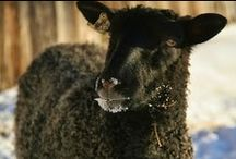 Gotland Sheep in Vermont / VT Grand View Farm is the home to Vermont's first flock of Gotland sheep!!