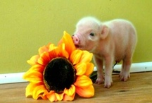"The TRUTH about Miniature Pigs / Miniature pigs are sold under a number of cutsie names, but none of them are true or accurate. Breeders manufacture names such as ""Dandy-Pigs,"" ""Teacup-Pigs,"" ""Micro-Pigs,"" ""Tiny-Pigs,"" ""Nano-Pigs,"" ""Thimble-Pigs,"" ""Pocket-Pigs,""  ""Pixy-Pigs,"" and ""Micro-Minis"" to help them sell. None of these names, conjured up to reflect a diminutive size, are true breeds of pig, nor are they true ""size classes,"" nor do they accurately reflect the final size, needs, or behavior of the animal."