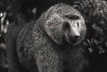 baboons / seriously.  baboons.