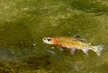 """Fly Fishing - Cast to Last! / """"Eventually all things merge into one and a river runs through it."""" Norman Maclean"""