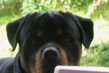 My rottweiler / Quino von Bayerischerhoff, son of Proton von Ninok.
