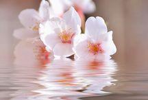 Japanese | Sakura