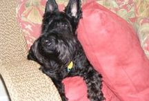 Scottie Love / Scottish Terriers-I am in love with the breed, my terriers past and present, and all things terrier and canine! / by Cheryl Sawyers