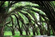 Arbor Sculpting / Is the art of shaping living trees. An Ancient tradition and horticultural skill.