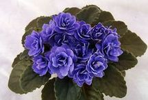 African  Violets / Named with Foliage Visible / by felicia