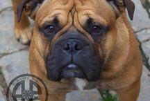 Continental und Canneo Bulldogs / Continental Bulldogs and Canneo Bulldogs by Asgard's Pride