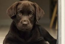 Chocolate Labradors / Charming and loyal these dynamic dogs are our favorite color; chocolate of course!