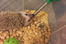 Hedgehog life / My Little hedgehog Iris and other prickles))