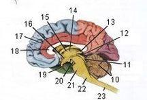 brain / the brain
