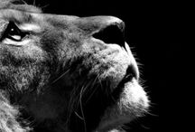 Lion of Judah / King of the jungle