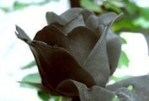 The Black Rose / Flowers