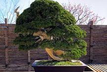 Bonsai d'extérieur / Les bonsai d'extérieur