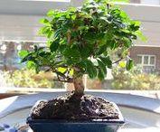 Entretien du bonsai / Guide d'entretien des différentes espèces de bonsai Arrosage, taille, engrais... Mes conseils et astuces sur www.maitre-bonsai.fr/espece/