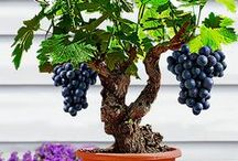 Bonsai fruits / Inspiration des différentes espèces de Bonsai fruitiers. Citrus, Pommier... www.maitre-bonsai.fr/espece/bonsai-citrus