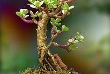 Espèces de bonsai / Les différentes espèces de bonsai