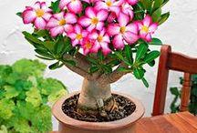 Bonsai avec fleurs / Les bonsai à fleurs sont très appréciés. En pleine floraison il offre une vision spectaculaire !