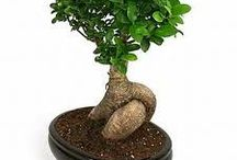 Bonsai ficus / Différentes photos du bonsai ficus Rétusa, Ginseng, ...