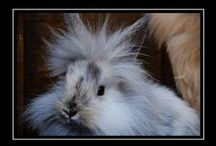 Lionhead Bunnys  / I love Lion head Bunnys and will be adding my own pics and others