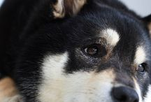 – しばいぬ 1 – / 時々 秋田犬と立ち耳
