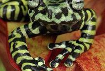 Frog March! / amphibians