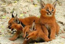 <<<Animals>>> Felines