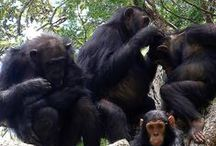 Monkeys & Chimpanzees / Come see amazing pictures and tips about our Monkey and Chimpanzees!