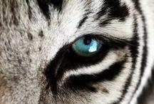 """Tigres / """"Em nome de tudo o que é bom, forte e bonito, eu te abençoo."""" (Abençoe-me Última, a Curandeira)."""
