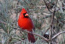 Vogels/Cardinal