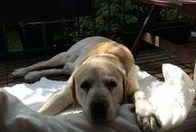 Dogs <3 / Labrador Cosmo und weitere süße Hunde