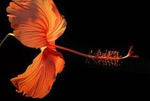 Flowers - Hibiscus / by Carlos Sathler