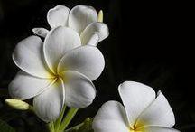Flowers - Plumerias / by Carlos Sathler