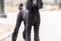 Poodle / My Beautiful Louis