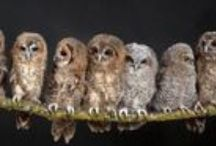 A Hooting of Owls / Collective Nouns for Owls