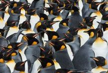 A Huddle of Penguins / Collective Nouns for Penguins
