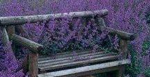 Virág - Levendula / Virág - Levendula