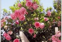 Roses / Gorgeous roses for all seasons