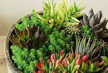 Plant SUCC