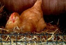 Homesteading - Chickens / by Green Bean