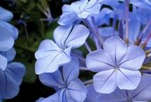 Periwinkle / by Barbara Wedderman